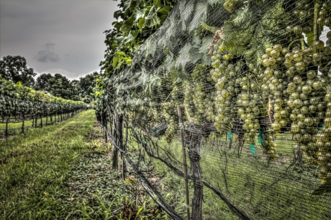 These are just about to be harvested at the Williamsburg Winery